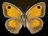 Pyronia tithonus MHNT CUT 2013 3 32 Balma female dorsal.jpg