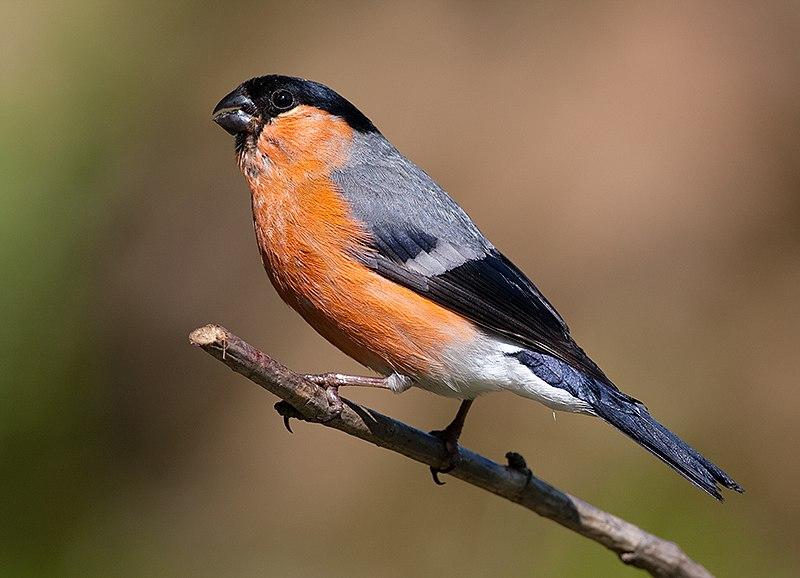 File:Pyrrhula pyrrhula -Lochwinnoch, Renfrewshire, Scotland-8.jpg