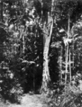 Queensland State Archives 221 Bush land between Eumundi and Noosa Heads c 1931.png