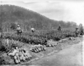 Queensland State Archives 2649 Picking pineapples on the State Farm Beerburrum January 1920.png