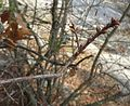 Quercus georgiana twig and buds in early spring 01.jpg