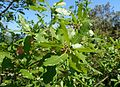 Quercus infectoria ssp veneris kz3.jpg