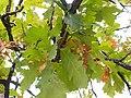 Quercus macrocarpa (5107486893).jpg