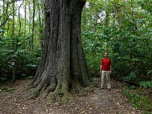 Quercus pagoda.jpg