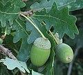 Quercus robur 4 RF.jpg