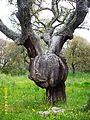 Quercus suber, tumor.JPG