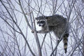 Raccoon climbing in tree.jpg
