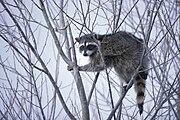 Raccoon climbing in tree.jpg