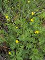 Ranunculus siamensis.png