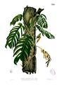Raphidophora pertusa Blanco2.339.png