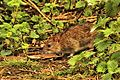 Rat - Rye Meads (25813150852).jpg