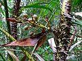 Rattan Palm (Calamus rotang) with fruits (7844049166).jpg