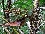 Rattan Palm (Calamus rotang) with fruits (7844049166).jpg