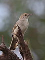 Rattling cisticola, Cisticola chiniana, at Marakele National Park, Limpopo, South Africa (23549337363).jpg