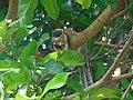 Ratufa macroura01.jpg