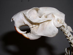 Squirrel - Skull of an Oriental giant squirrel (genus Ratufa)—note the classic sciuromorphous shape of the anterior zygomatic region.