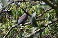 Red-billed Pigeon (24857233640).jpg
