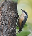 Red-breasted Nuthatch (44090220305).jpg