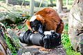 Red-ruffed Lemur eats Nikon F70 (16131992218).jpg