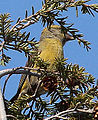 Red Crossbill (8203827415).jpg