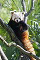 Red Panda Amneville Zoo.jpg