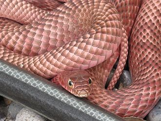 Masticophis flagellum - Masticophis flagellum piceus, red racer/red coachwhip, Santa Fe, New Mexico