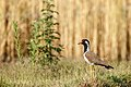 Red Wattled lapwing Vanellus Indicus.jpg