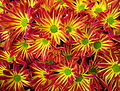 Red and yellow Chrysanthemums.jpg
