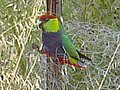 Red capped parrot(male).JPG