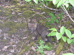 Red fox cub.jpg