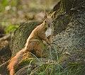 Red squirrel (28792961598).jpg