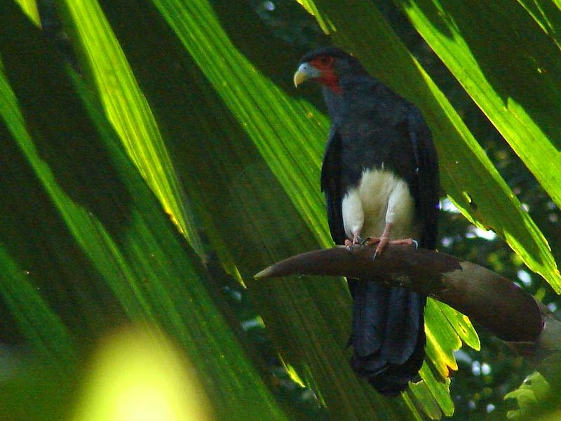 Red throated Caracara.jpg