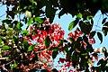 Red vs Green maple leaves.jpg