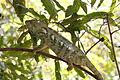 Reuzenkameleon in Isalo 3.JPG