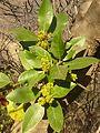 Rhamnus alaternus, loof en bloeiwyses, Meiringskloof, c.jpg