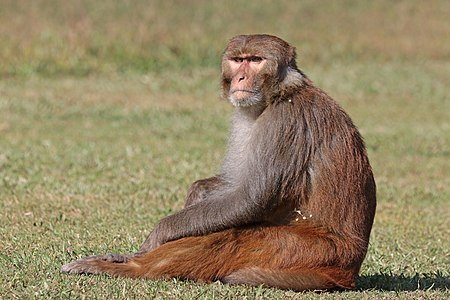 Rhesus macaque (Macaca mulatta mulatta), male in Nepal