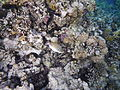 Rhinecanthus assasi Reef Egypt.JPG