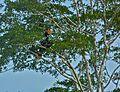 Rhinoceros Hornbills (Buceros rhinoceros) (8067784012).jpg