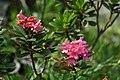 Rhododendron Ferrugineum - Alpine Flora.jpg