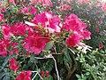 Rhododendron cv. Kiev Grishko 02.jpg