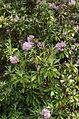 Rhododendron smirnowii ÖBG 2012-05-28 01.jpg