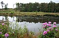 Rhododendrons by Muncaster Tarn - geograph.org.uk - 840416.jpg
