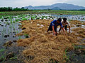Rice farmers at work in the Philippines.jpg