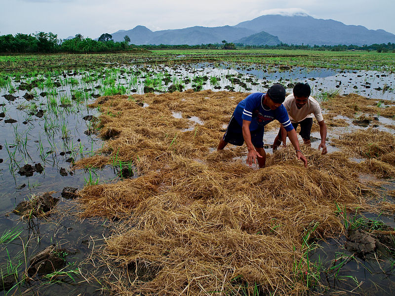 File:Rice farmers at work in the Philippines.jpg