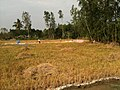 Rice harvesting in Can Tho.JPG