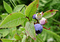 Ripening blueberries.jpg