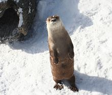 River Otter - Buffalo Zoo.jpg
