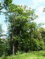 Rožmberk, památné stromořadí okolo hráze (6).JPG