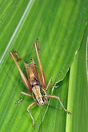 Roesel's bush-cricket - Male