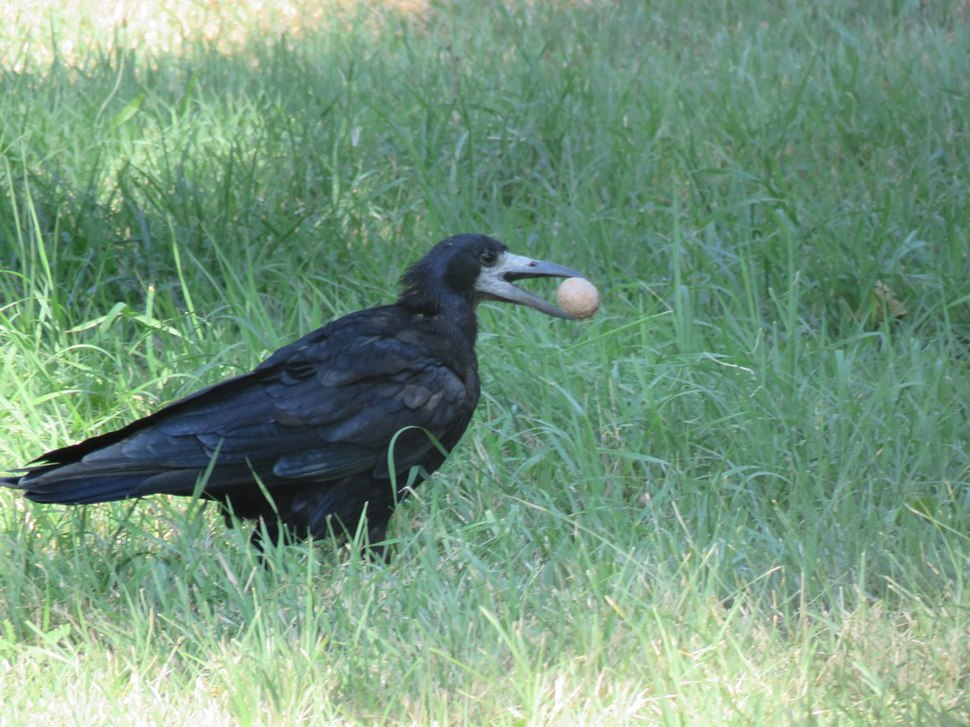 Rook in the grass 04